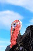 Big Turkey Over The Sky