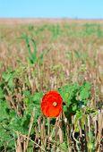 Harvest Poppy Field