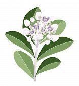 eine Gruppe von frisch Calotropis Gigantea Blumen