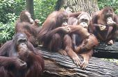 foto of zoo animals  - Orangutans at feeding time in Singapore Zoo - JPG