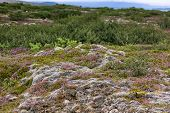 stock photo of field_stone  - Blooming moss and small nordic trees growing on lava and stone fields in Iceland at summer