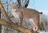 stock photo of wildcat  - Bobcat  - JPG