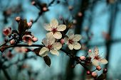 stock photo of cherry trees  - a wild cherry tree in blossom - JPG