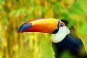 foto of toucan  - Colorful Toucan Bird - JPG