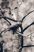 Female Red Winged Blackbird in a Tree in Sepia