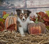 stock photo of sheltie  - Little Sheltie puppy in a fall scene with fall leaves and pumpkins - JPG