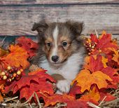 stock photo of sheltie  - Cute tiny Sheltie puppy in a fall setting - JPG