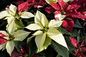 white poinsettia plants inside a green house