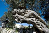 olive tree in sicily