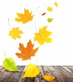 Flying autumn leaves of a birch, maple and barberry. Isolated on white background