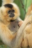 Portrait Of Lar Gibbon Female With Animal Baby