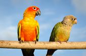 Beautiful Colorful Parrot, Sun Conure (aratinga Solstitialis)
