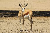 Springbok - Wildlife Background from Africa - Cute and Adorable neck twist