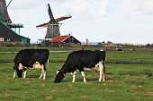 Charming Dutch pastoral. Cows grazing on lush grass not far from the windmills.