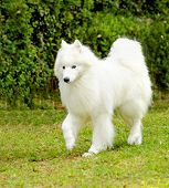 foto of herding dog  - A young beautiful white fluffy Samoyed dog walking on the grass. 