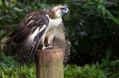 The Filipino eagle is a very rare and endangered species living in the Davao province in Philippines