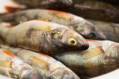 Group Of Perches. River Fish Close-up.