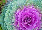 picture of kale  - The white Flowering Cabbage and Kale or Ornamental Cabbage and Kale or Brassica oleracea in Thailand - JPG