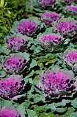 The Purple Flowering Cabbage And Kale Or Ornamental Cabbage And Kale Or Brassica Oleracea