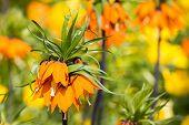 Spring Flower - Fritillaria Imperialis