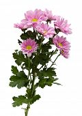 A branch of chrysanthemums on a white background