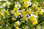 Medical chamomile close-up