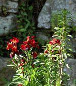 Fresh Matthiola Incana Flower