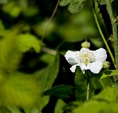 Flower Of Blackberry