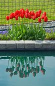 Red Spring Tulips Reflection