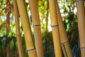 Yellow Bamboo Forest with Bright Sunny Background