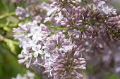 Branches Of Lilac