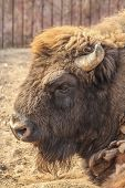 Portrait of European bison