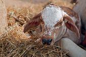 Indian Calf