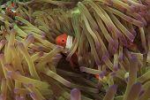Nemo hiding in Anemone