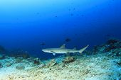 Underwater reef with Whitetip Reef Shark
