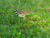 Kildeer in Grass
