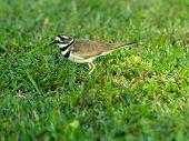 Kildeer in Grass