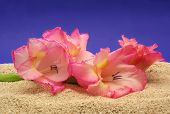 picture of sand lilies  - Flower on Sand - JPG