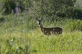 picture of roebuck  - Roebuck  - JPG