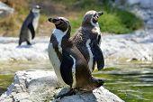 Humboldt Penguins (spheniscus Humboldt) In A Zoo