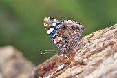 Butterfly In Natural Habitat On Tree Bark