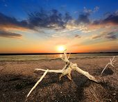 old tree on Sivash dead sea against sunset background