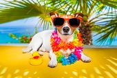 foto of jacking  - jack russell dog under the shadow of a palm tree relaxing and resting - JPG