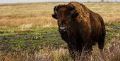 Bison standing in the rain