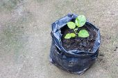 Young Plant In The Black Plastic Bag On Ground