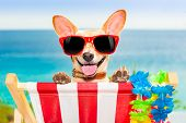 image of chihuahua  - chihuahua dog at the beach having a a relaxing time on a hammock while sun tanning - JPG