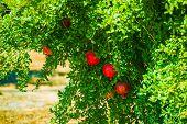 Pomegranate Tree And Fruits