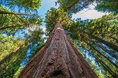 picture of redwood forest  - Ancient Giant Sequoias Forest in California United States - JPG