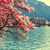 picture of magnolia  - blooming magnolia branch Lake Geneva and view of Montreux - JPG