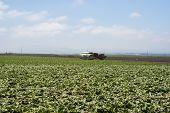 Lettuce Picking In California Fog